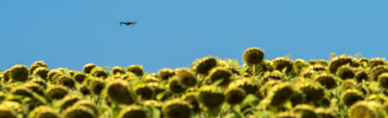 Drohnenflug über ein Sonnenblumenfeld