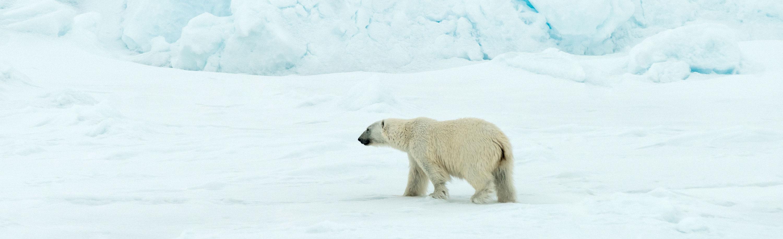 Eisbär am Nordpol - Dreharbeiten für eine ZDF-Reportage